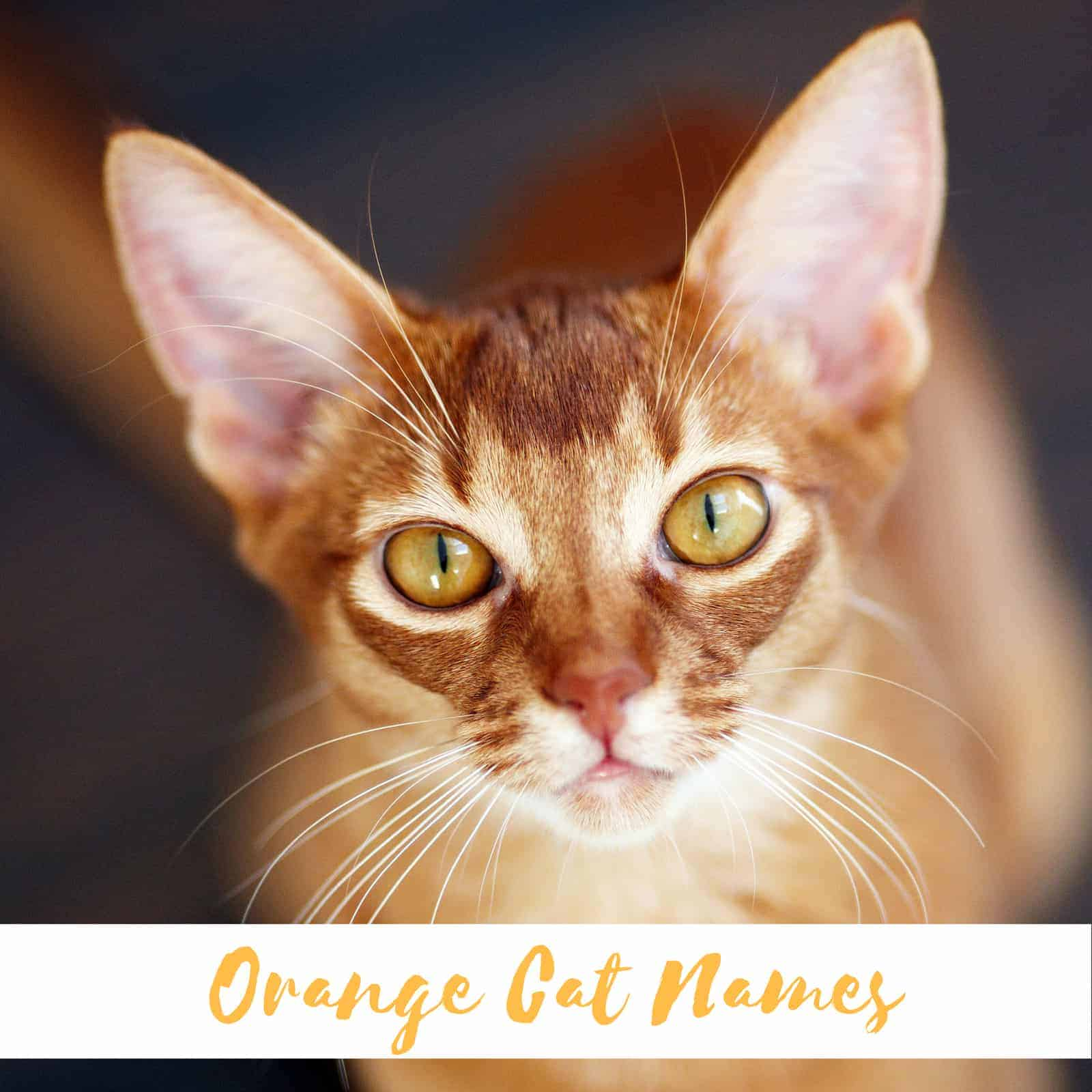 500 Orange Cat Names - The only list you'll need to find the