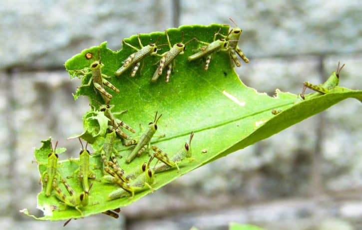 Baby grasshoppers eating