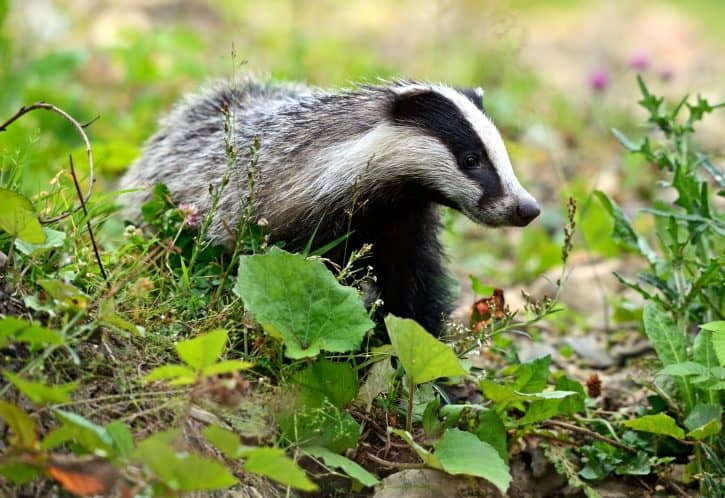 Badger, European