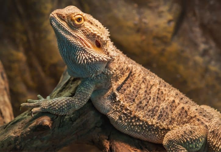 Bearded Dragon, Central