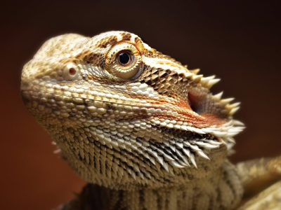 Bearded dragon names