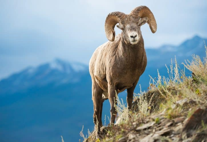 Bighorn Sheep (male)