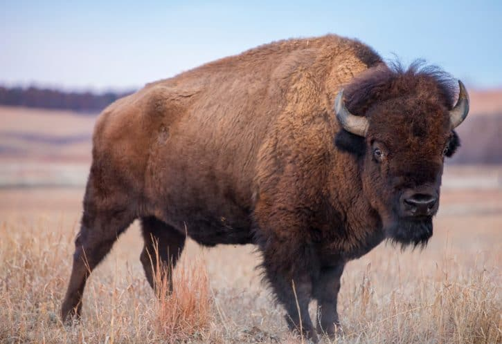 Bison, American