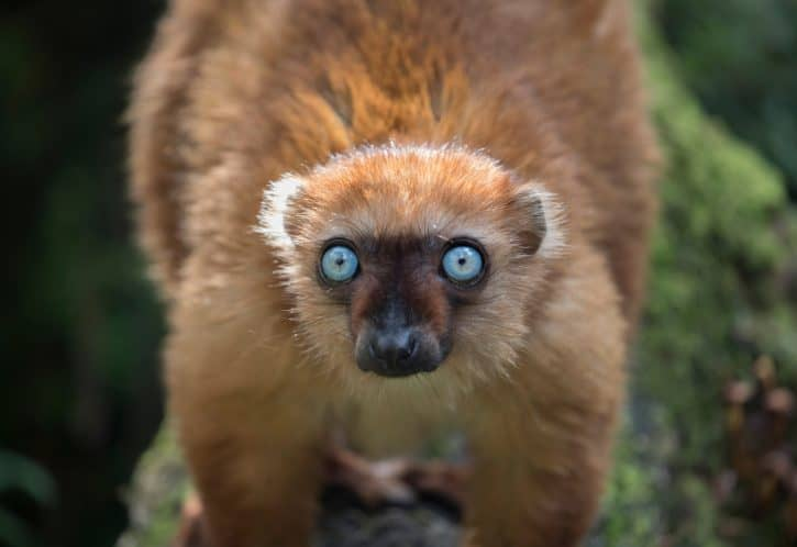 Blue-eyed Black Lemur (female)