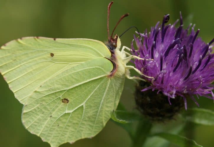 Brimstone (female butterfly)