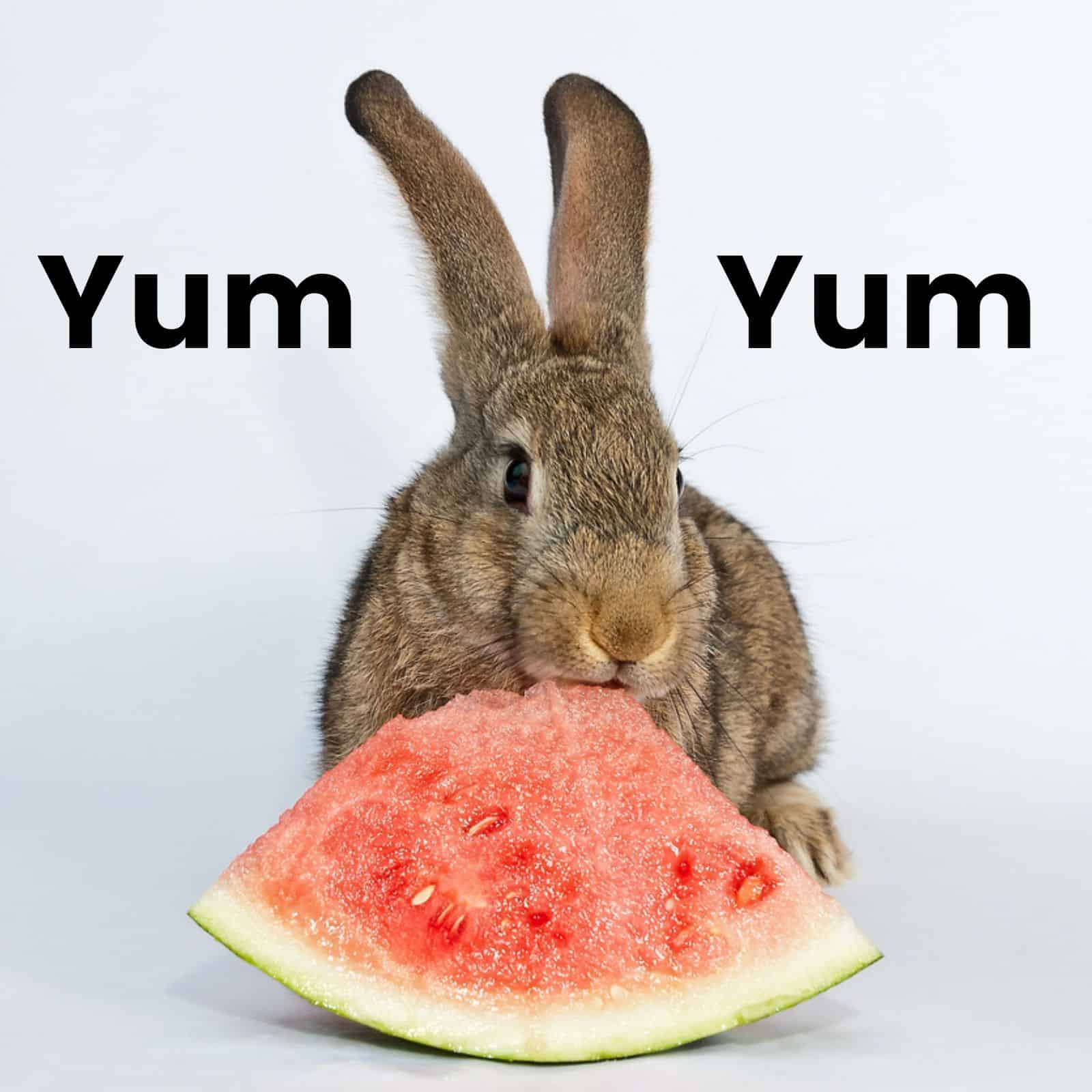 Brown Rabbit Eating Watermelon