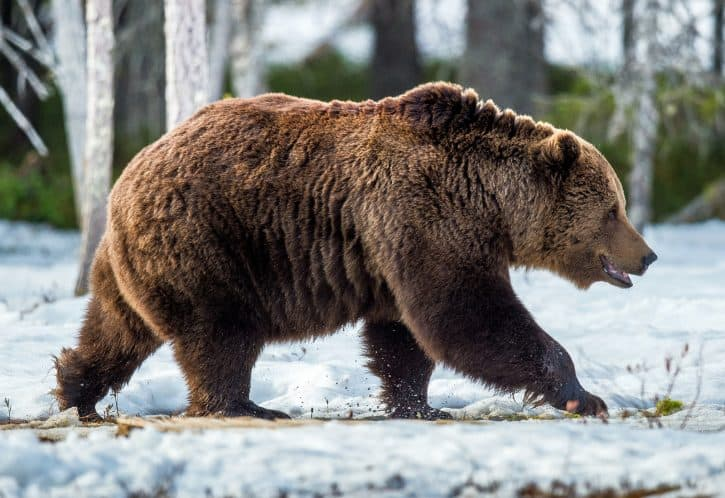 Brown bear, Eurasian