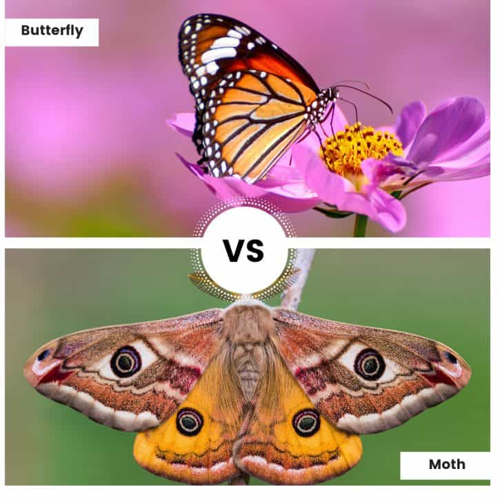 Butterfly Vs Moth