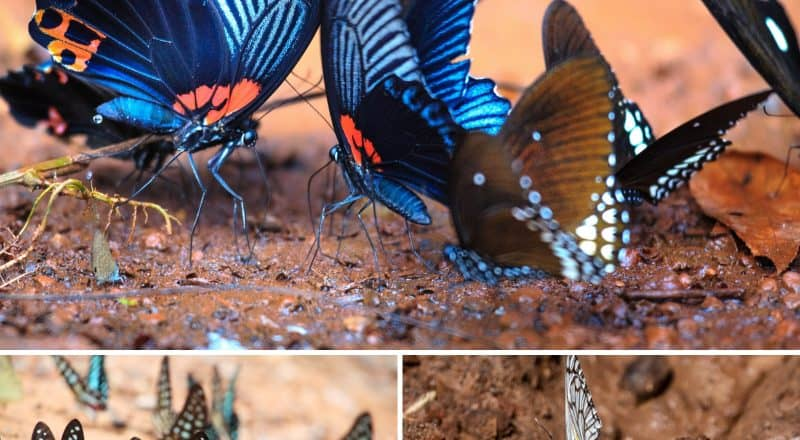 Butterflys Puddling In Mud - What do butterflies eat?