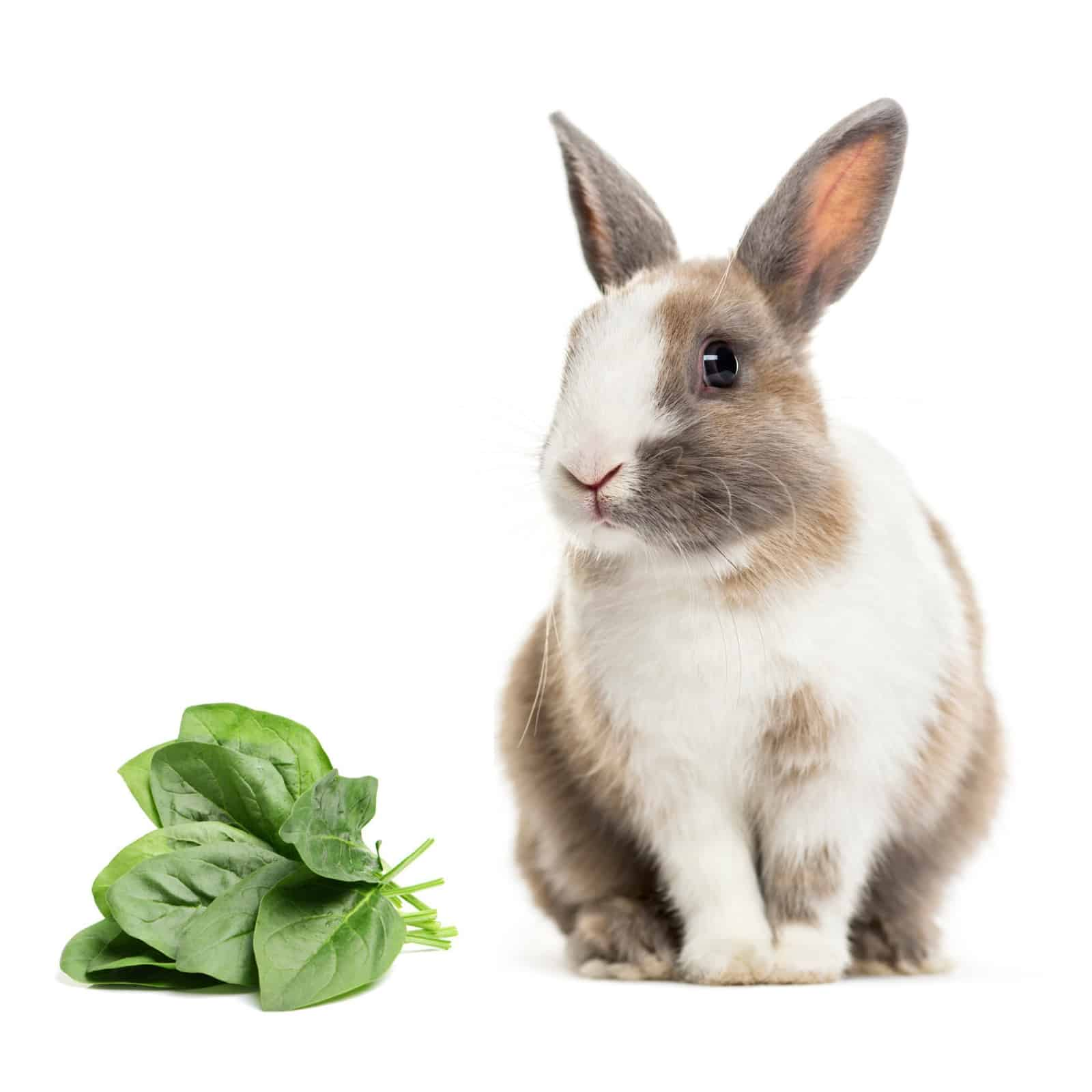 Can Rabbits Eat Spinach Yes But Not Too Much