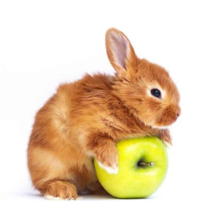 Can rabbits eat apples? Brown rabbit with green apple