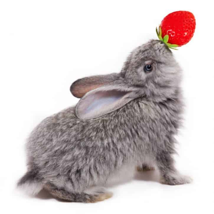 Can rabbits eat strawberries? Gray Rabbit With Strawberry