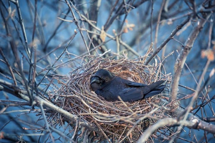 Crow sitting on eggs in nest