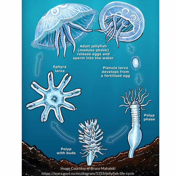 Diagram Of The Life Cycle Of A Jellyfish
