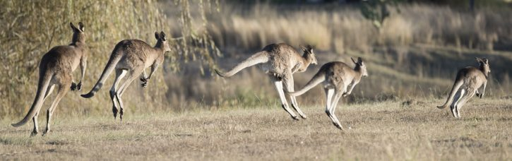 Kangaroos jumping away
