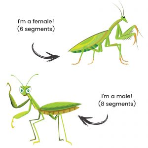 Male VS Female Praying Mantis