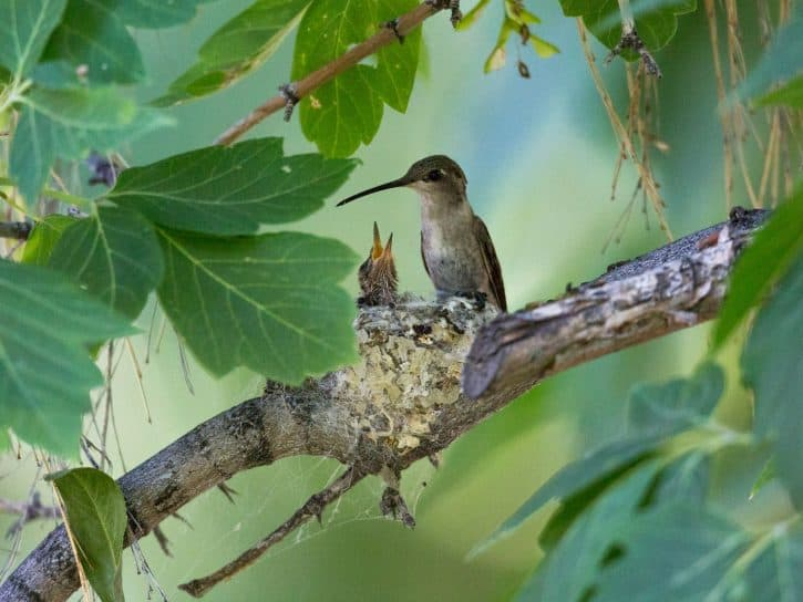 Mother hummingbird with baby in nest