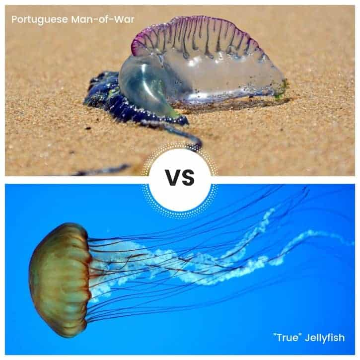 "Insert-Portuguese Man-of-War VS ""True"" Jellyfish"