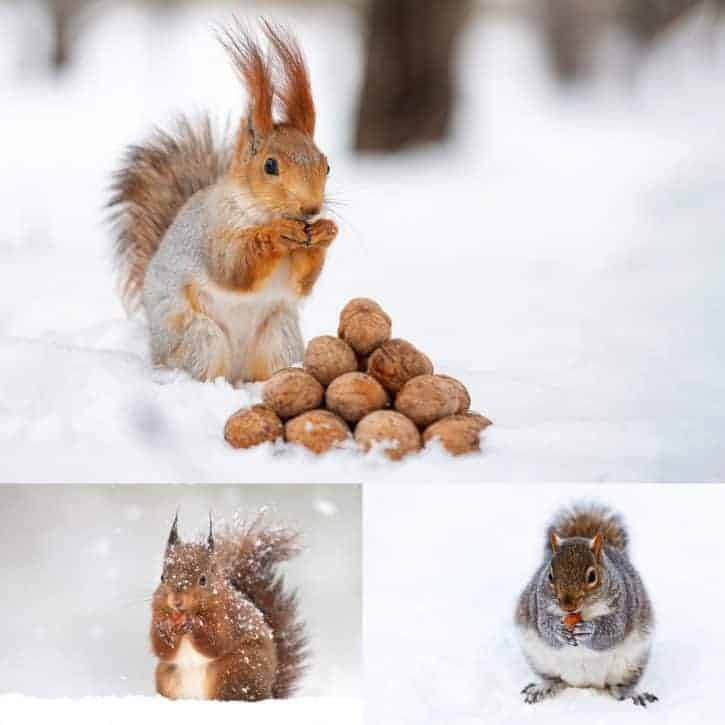 Squirrels With Nuts In Snow