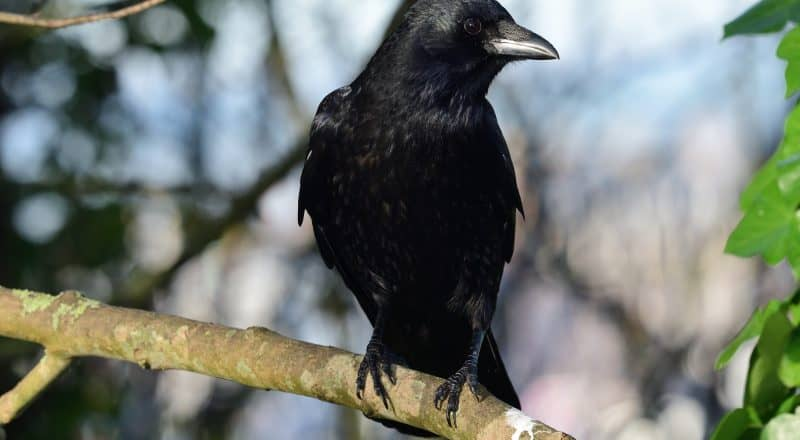 What do crows eat?