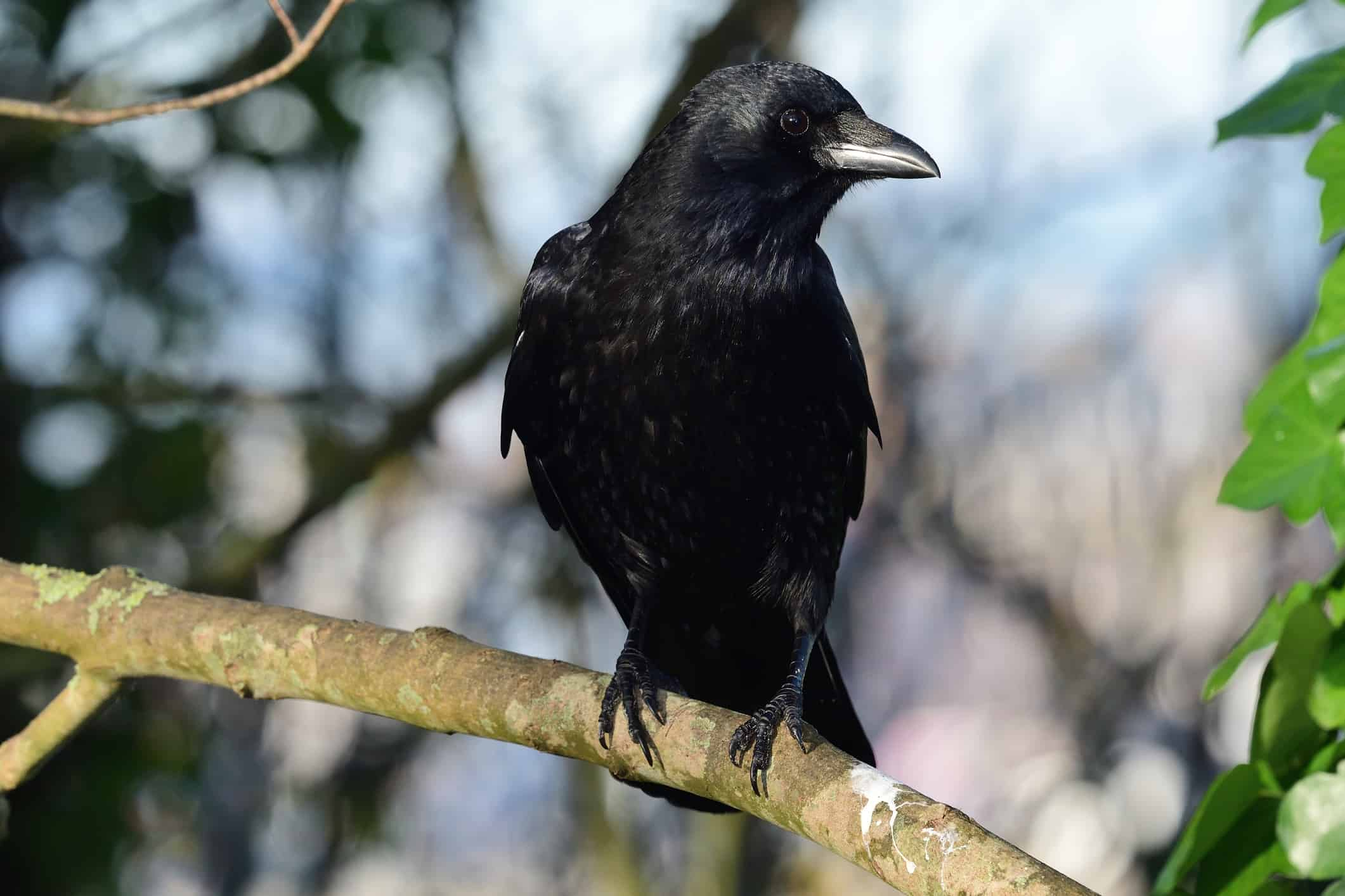 what is the main component of crows diet