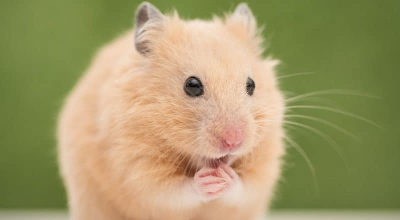 What do hamsters eat?