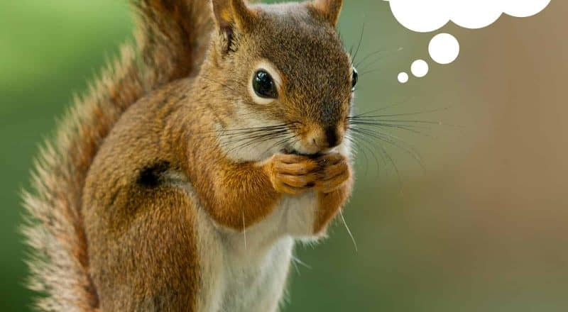 What do squirrels eat?