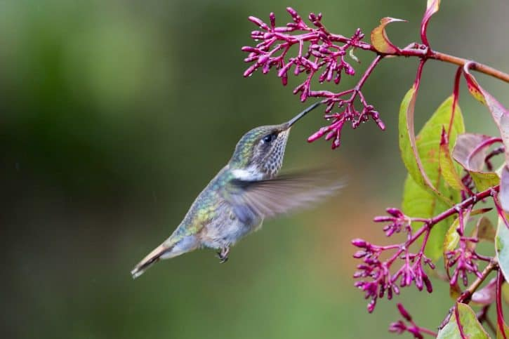 blue humming bird with pink flowers