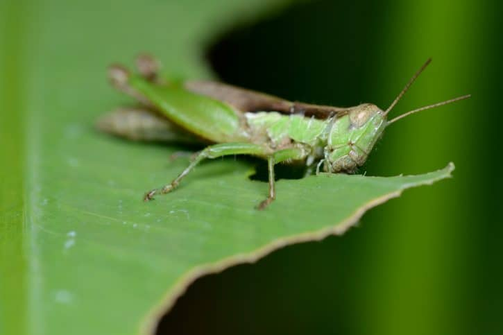 What Do Grasshoppers Eat?
